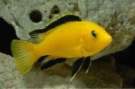 Рибка Еллоу 1,5-3 см