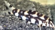 Рибка Боція Шахматна 7-9 см