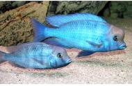 Рибка Дельфін 1,5-3 см