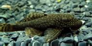 Рибка Анциструс 2-3 см