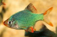 Рибка Барбус Суматраньський Мутант 2,5-4 см
