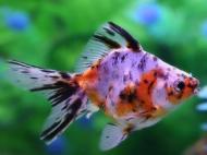 Рибка Ріукін Сітцевий 4-6 см