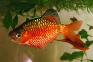 Рибка Барбус Вогняний 2,5-4 см