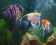 Рибка Скалярія Асорти 3,5-5 см