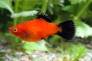 Рибка Пецилія чорнохвоста 2,5-4 см