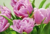 Фотошпалери  Тюльпани 207x144 см