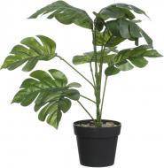 Рослина декоративна Аспідістра зелена PFC(NL)-1049
