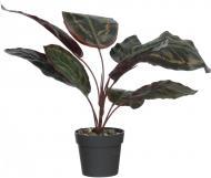 Рослина декоративна Аспідістра фіолетова PFC(NL)-1053D