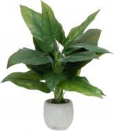 Рослина декоративна Кротон CVG(M)-002D