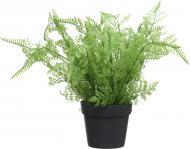 Рослина декоративна Папороть Аспленіум PFC(NL)-547C