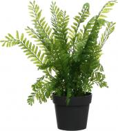 Рослина декоративна Папороть Оноклея PFC(NL)-968