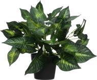 Рослина декоративна Сциндапсус PFC(NL)-746A