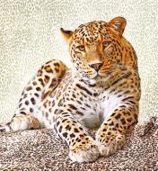 Фотошпалери  Леопард 207x192 см