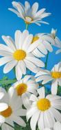 Фотошпалери  Білі ромашки 207x96 см