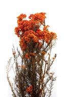 Диосми Бессмертник стабилизированный оранжевый